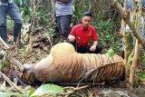 BBKSDA: Informasi harimau serang sapi di Kampar hoaks