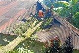 25 bangunan di Agam rusak tertimpa pohon akibat angin kencang
