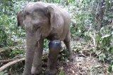 BKSDA evakuasi gajah terkena jerat