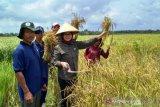 Tim BRG panen padi hitam lahan gambut  Banyuasin