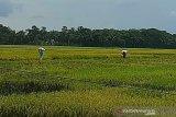Menggapai harapan dari sektor pertanian di Cilacap