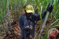 Gula rafinasi ilegal merugikan petani dan produsen