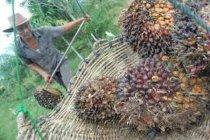 Menilik persaingan dagang di balik kampanye hitam terhadap sawit Indonesia