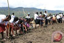 TNI  bersama warga Jayawijaya panen padi