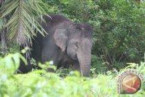 Kawanan gajah liar merusak kebun sawit warga Pekanbaru