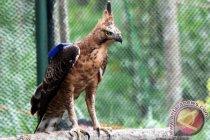 Mesir peringati warisan berburu dengan elang