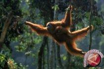 NSHE bentuk tim monitoring untuk selamatkan Orangutan