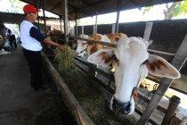 Belasan sapi hasil korupsi disita