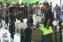 Kontes piala raja dongkrak nilai kambing PE seharga sapi