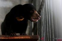 Beruang Madu Sumatra