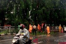 Tim oranye tangani pohon tumbang depan Kokas