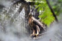 Konservasi Elang Jawa, ikhtiar menyelamatkan satwa endemik