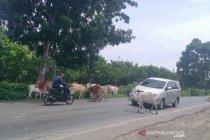 Waspadai hewan lembu di jalur mudik jalan lintas Sumatera