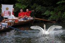 Swan Upping, tradisi unik menghitung jumlah angsa di Inggris