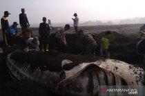 Ikan hiu paus tutul terdampar di Pantai Lumajang