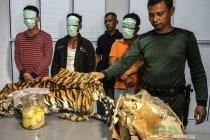 Kasus perdagangan satwa, polisi dan KLHK sita kulit Harimau Sumatra beserta janin