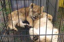 Polda Riau selamatkan empat bayi singa Afrika