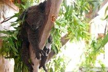 Australia mungkin daftarkan koala pantai timur sebagai terancam punah