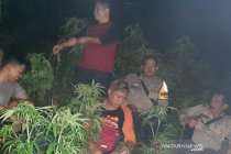 Polisi: tanaman ganja di lahan BKSDA Garut diduga sengaja ditanam