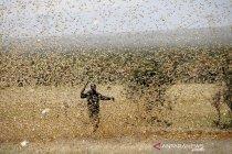 Jutaan belalang serbu Kenya