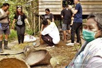 Panen padi orang Mapnan di Long Duhung