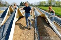 Lebih dari 70 buruh tani di Inggris positif corona