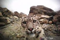 """Macan tutul salju muncul di dekat kota di Kazakhstan saat \""""lockdown\"""""""