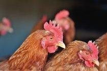 Kolaborasi global galakkan produksi telur ayam bebas sangkar di Asia