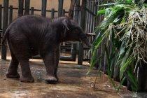 Kebun binatang tertua Jepang sambut kelahiran bayi gajah pertama