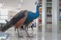 Merak berkeliaran di perpustakaan universitas di China barat daya