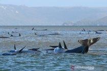 Tim Australia berupaya dorong ratusan paus ke laut