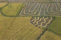 Melihat cara unik para petani memanen padi di China tengah