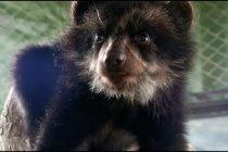 Seekor beruang kecil yang kini jadi penghuni kebun binatang Peru