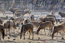 Pelepasliaran rusa langka khas China