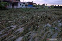 Tanaman padi rusak dampak banjir
