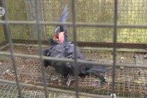 BKSDA Maluku terima 45 ekor burung endemik untuk dilepasliarkan