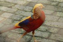 """Cantiknya burung pegar emas, si \""""palet berjalan\"""""""