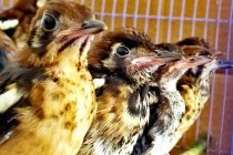Karantina Surabaya gagalkan masuknya 380 burung ilegal
