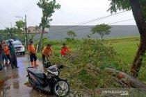 Pohon tumbang di Sragen satu pengendara tewas
