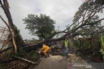 Hujan deras dan angin kencang di Surabaya, sejumlah pohon tumbang