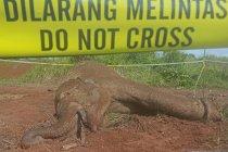 Gajah sumatera mati di Aceh Jaya