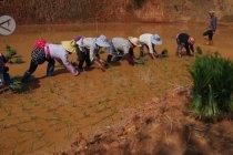 Kegembiraan etnis Lahu mulai membajak sawah di musim semi