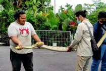 Evakuasi ular piton dari rumah warga