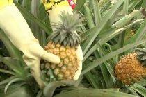 Musim panen nanas dimulai di wilayah penghasil terbesar di China