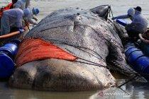 Evakuasi ikan paus terdampar di pantai Bungko Cirebon