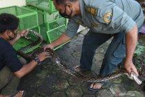 BKSDA Banten amankan hewan dari warga