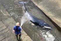 Paus terdampar di Sungai Thames