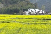 Bunga rapa bermekaran di Anhui, China timur