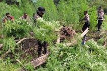 BNN memusnahkan dua hektare ladang ganja di Aceh