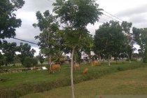 Satpol PP Mukomuko tangkap belasan ternak berkeliaran di jalan raya